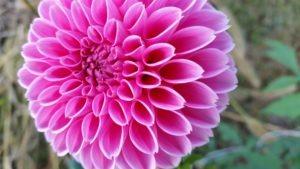 dahlia-bright-pink-up-close