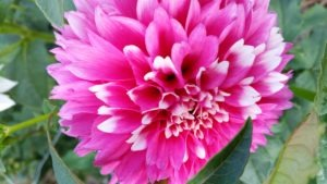 dahlia-hot-pink-white-tips