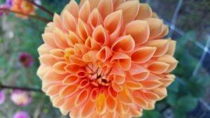 dahlia-peach-up-close-2
