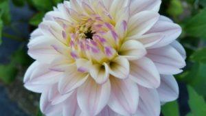 dahlia-white-lavender-tips